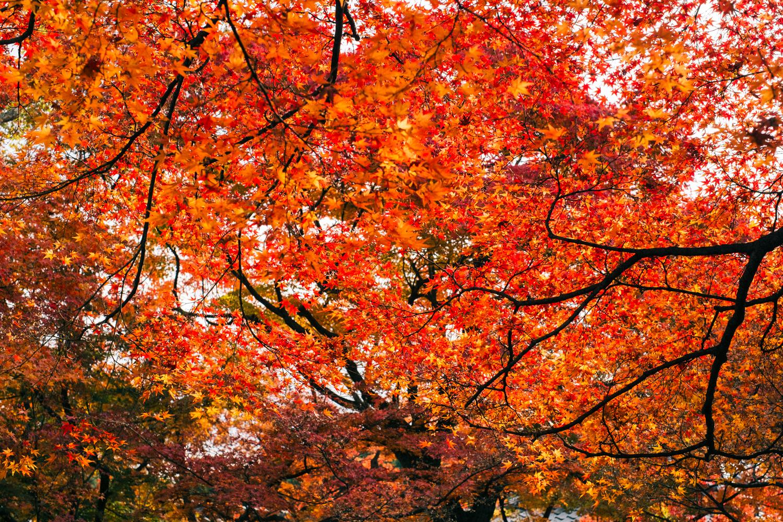 紅葉を燃えるように鮮やかに写す
