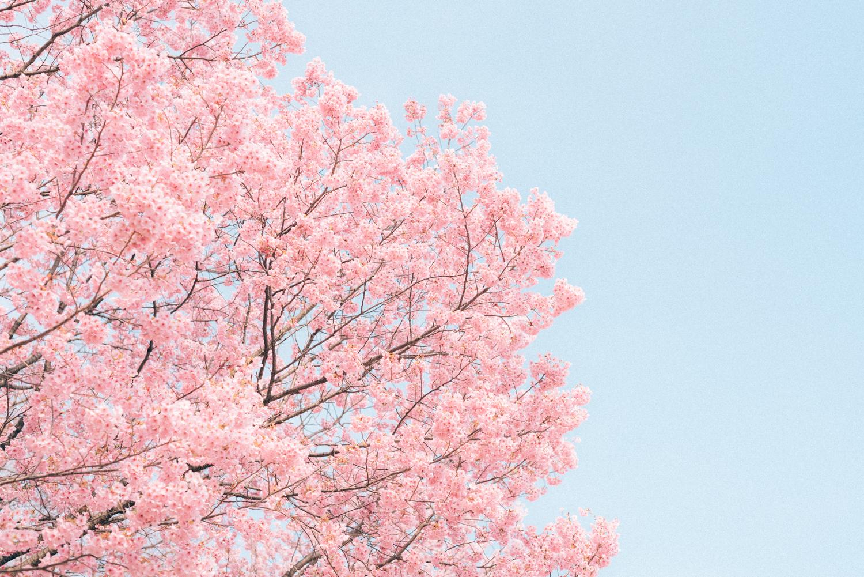 桜写真の撮り方